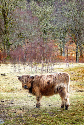 Photograph - Highland Cow 5 by Dominick Moloney
