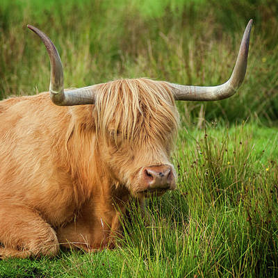 Photograph - Highland Cow by Bud Simpson