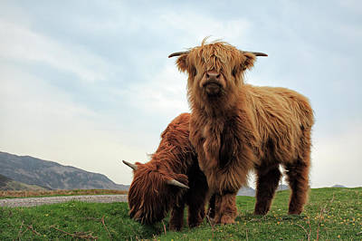 Mammals Photos - Highland Cow Calves by Grant Glendinning