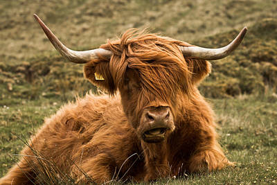 Photograph - Highland Cow Color by Justin Albrecht