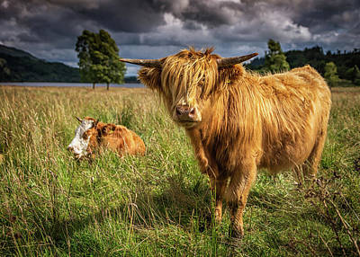 Photograph - Highland Cow by Framing Places
