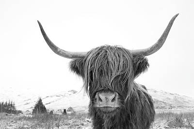 Mammals Royalty-Free and Rights-Managed Images - Highland Cow mono by Grant Glendinning
