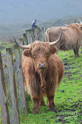 Kyloe Photograph - Highland Cow Stanidng By A Fence Line by DejaVu Designs