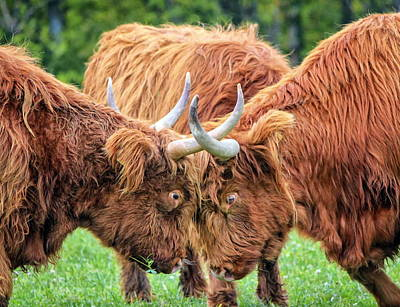 Photograph - Highland Cows Fight by Elenarts - Elena Duvernay photo