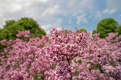 Photograph - Highland Park Lilacs Detail Rochester Ny by Toby McGuire
