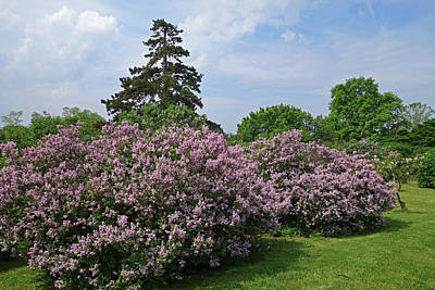 Photograph - Highland Park Lilacs Rochester Ny by Toby McGuire