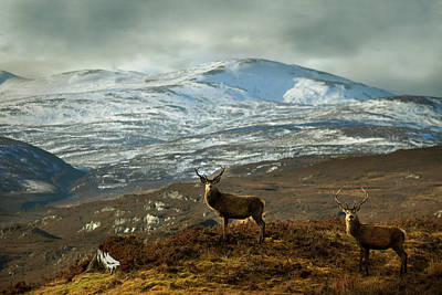 Photograph - Highland Stags by Gavin Macrae