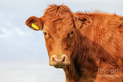 Photograph - Highlander Calf by Patricia Hofmeester
