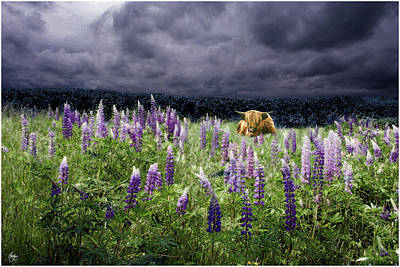 Photograph - Highlander In The Lupine by Wayne King