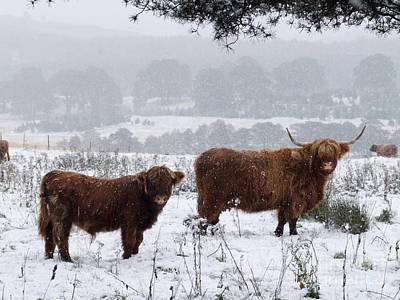 Photograph - Highlanders In Snow by Phil Banks