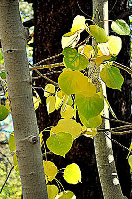 Photograph - Highlighted Aspen Leaves by Lynn Bawden