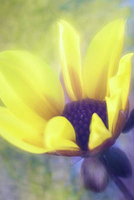 Photograph - Highly Favored / Daisy Dahlia by Kim Carpentier