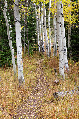 Hiking Trail In Autumn Aspens Print by Mike Cavaroc