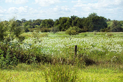 Hill Country Of White Wildflowers Original