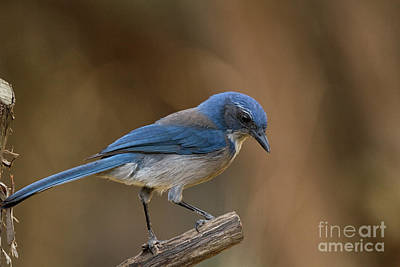 Photograph - Hill Country Scrub Jay by David Cutts