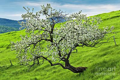 Photograph - Hillside Apple Tree by Alan L Graham
