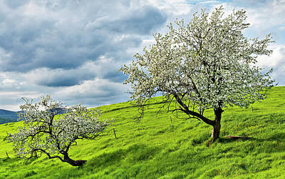 Photograph - Hillside Apple Trees by Alan L Graham