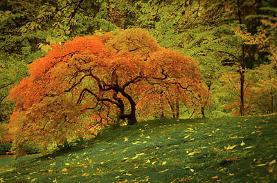 Photograph - Hillside Maple In Autumn by Don Schwartz