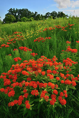 Photograph - Hillside Of Butterfly Milkweed In Glacial Park by Ray Mathis