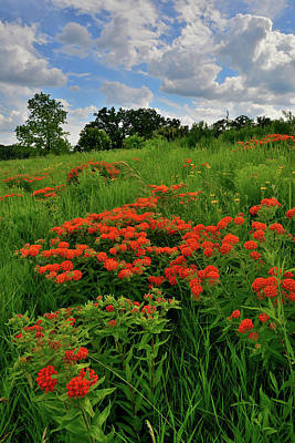 Photograph - Hillside Of Butterfly Weed In Glacial Park by Ray Mathis