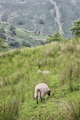 Comics Royalty-Free and Rights-Managed Images - Hilly Sheep Farming by Martin Newman