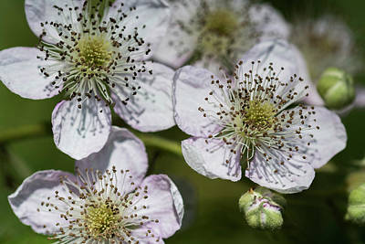 Photograph - Himalayan Blackberry by Robert Potts