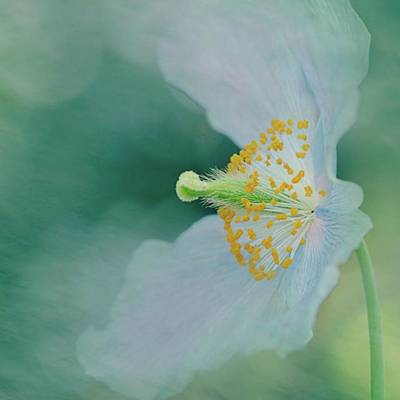 Florals Photograph - Himalayan Blue by Margaret Goodwin