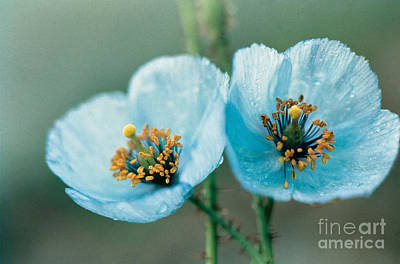 Drops Photograph - Himalayan Blue Poppy by American School