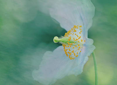 Manipulation Photograph - Himalayan Blue Poppy by Margaret Goodwin