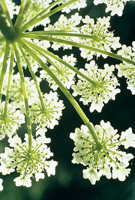 Blossoms Photograph - Himalayan Hogweed Cowparsnip by American School