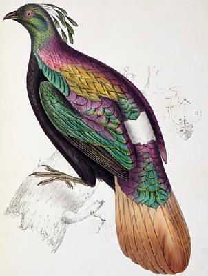Pheasant Drawing - Himalayan Monal Pheasant by John Gould