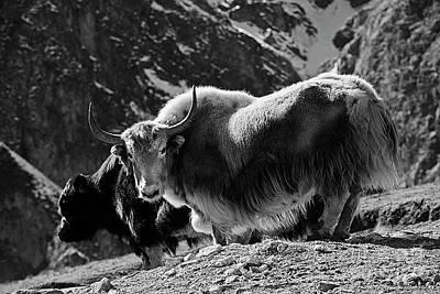 Photograph - Himalayan Yaks - Nepal by Craig Lovell