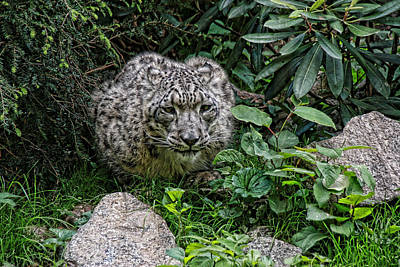 Photograph - Snow Leopard # 2 by Allen Beatty
