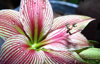 Photograph - Hippeastrum by Camille Lopez