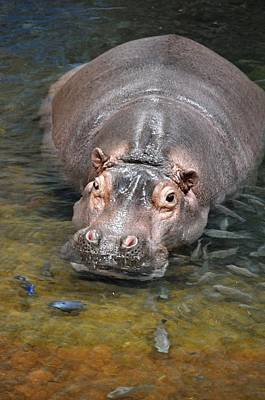 Photograph - Hippo by Andrea Everhard