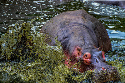 Photograph - Hippo Charging by Marilyn Burton