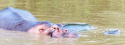 Photograph - Hippo Family Life by Bob VonDrachek