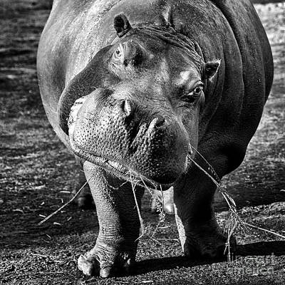 Photograph - Hippo by Sonya Lang