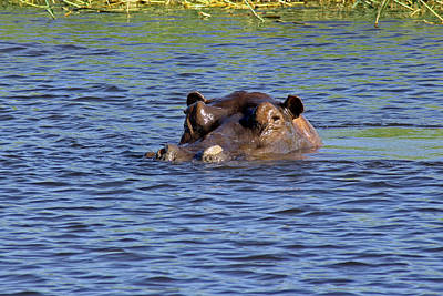 Photograph - Hippo Swimming by Tony Murtagh