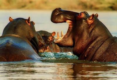 Photograph - Hippo Tussle by Brigitte Werner