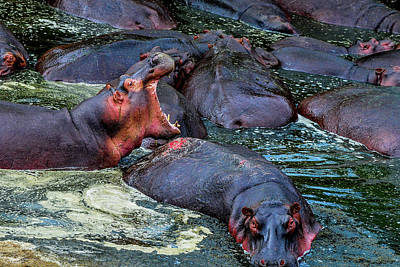 Photograph - Hippo With Open Mouth by Marilyn Burton