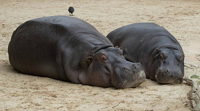 Photograph - Hippopotamus At Rest by Masami IIDA