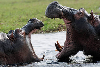 Hippos Fighting Art Print