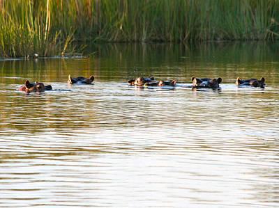 Photograph - Hippos In The River by Karen Zuk Rosenblatt