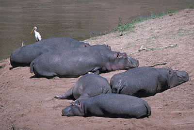 Photograph - Hippos On The Mara River In Kenya by Carl Purcell