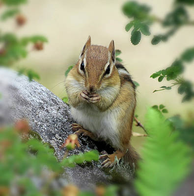 Photograph - Hippy Chip - Chipmunk by MTBobbins Photography