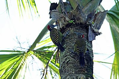 Photograph - Hispaniolan Woodpeckers by Debbie Oppermann