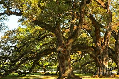 Photograph - Historic Dancing Oaks by Adam Jewell