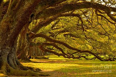 Photograph - Historic Oak Canopy by Adam Jewell