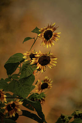 Photograph - History Of Sunflowers by Theresa Campbell